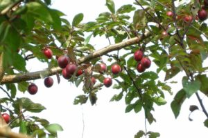 How To Grow A Plum Tree