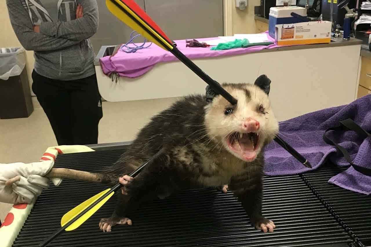 Opossum Survived After Being Shot By 2 Arrows