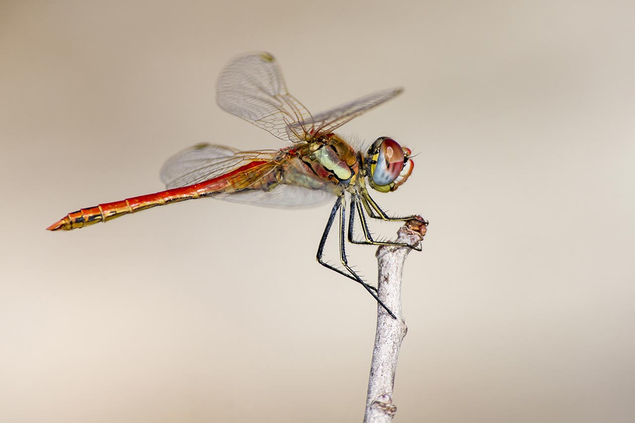 The 15 Most Beautiful Dragonfly Species In The World